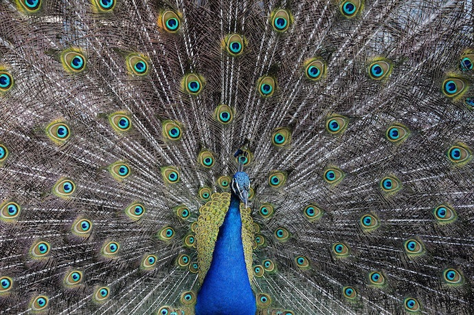 peacock-showing-feathers.jpg