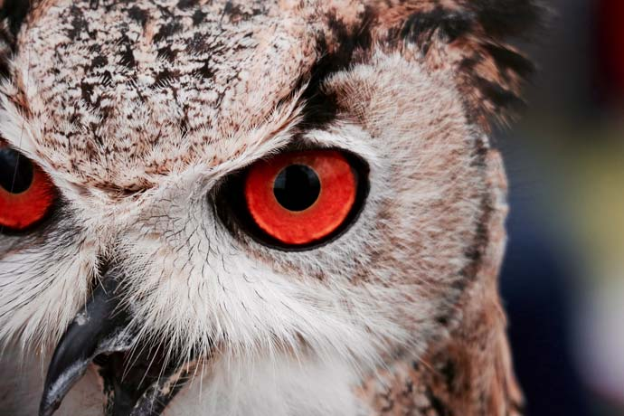 owl eyes close up