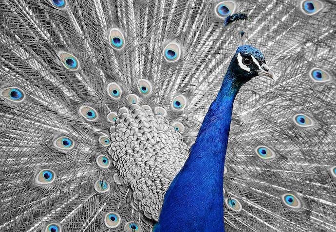peacock-1676635_1920